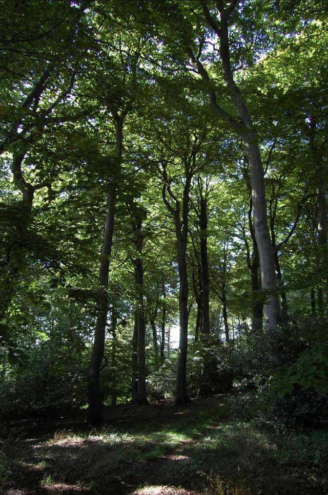 Beech woodland, West Wycombe